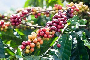 la création du café